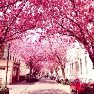Bonn: Double Cherry Blossom